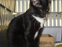 Domestic Short Hair - Black and white - Nash - Medium -