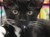 Domestic Short Hair - Black and white - Noah - Medium -