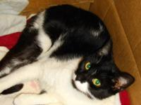 Domestic Short Hair - Black and white - Oreo Creme -