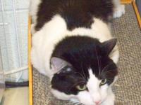 Domestic Short Hair - Black and white - Oscar - Medium
