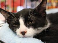 Domestic Short Hair - Black and white - Owen - Medium -