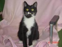Domestic Short Hair - Black and white - Peppi - Large -