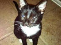 Domestic Short Hair - Black and white - Pete - Medium -