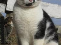 Domestic Short Hair - Black and white - Peter - Large -