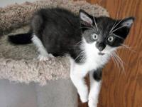 Domestic Short Hair - Black and white - Peter Pan -