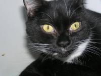 Domestic Short Hair - Black and white - Phantom - Small