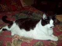 Domestic Short Hair - Black and white - Pippa - Small -
