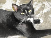 Domestic Short Hair - Black and white - Poindexter -