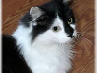 Domestic Short Hair - Black and white - Princess Sophia