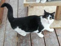 Domestic Short Hair - Black and white - Prissy - Large