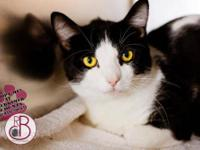 Domestic Short Hair - Black and white - Puss - Medium -