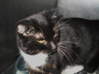 Domestic Short Hair - Black and white - Rambo - Large -