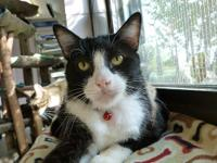 Domestic Short Hair - Black and white - Rennie - Large