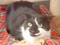 Domestic Short Hair - Black and white - Roger - Large -