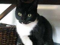 Domestic Short Hair - Black and white - Romeo - Large -