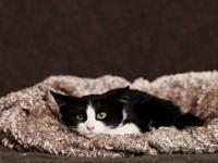 Domestic Short Hair - Black and white - Rupaul - Small