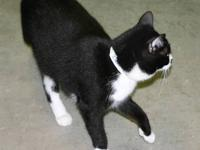 Domestic Short Hair - Black and white - Schug - Medium
