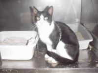 Domestic Short Hair - Black and white - Shadow - Medium