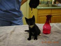 Domestic Short Hair - Black and white - Shania - Medium