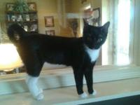 Domestic Short Hair - Black and white - Smudge - Small