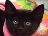 Domestic Short Hair - Black and white - Spectra -
