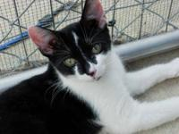 Domestic Short Hair - Black and white - Spock - Large -