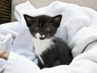 Domestic Short Hair - Black and white - Stache - Large