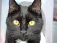 Domestic Short Hair - Black and white - Stanley -