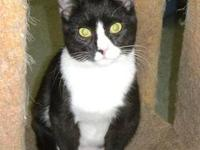 Domestic Short Hair - Black and white - Starlet -