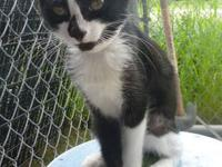 Domestic Short Hair - Black and white - Sweet 11806 -