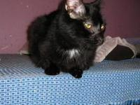 Domestic Short Hair - Black and white - Sweetie -