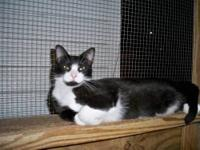 Domestic Short Hair - Black and white - Sylvester -