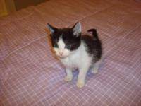 Domestic Short Hair - Black and white - Tess - Small -