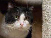 Domestic Short Hair - Black and white - Thelma Lou -