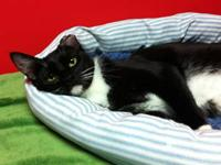 Domestic Short Hair - Black and white - Thelma - Small