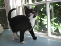 Domestic Short Hair - Black and white - Tiki - Small -