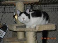 Domestic Short Hair - Black and white - Tink - Medium -