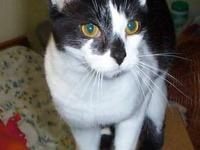 Domestic Short Hair - Black and white - Toby - Small -