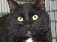 Domestic Short Hair - Black and white - Tootsie -