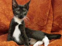 Domestic Short Hair - Black and white - Tristen - Small