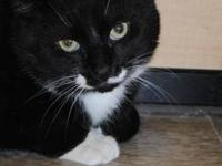 Domestic Short Hair - Black and white - Tucker - Medium
