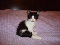 Domestic Short Hair - Black and white - Tulah - Small -
