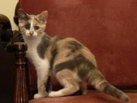 Domestic Short Hair - Black and white - Twinkle -