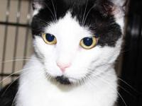 Domestic Short Hair - Black and white - Wesley - Medium