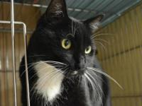 Domestic Short Hair - Black and white - Whiskers -