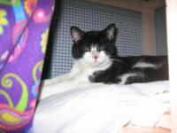 Domestic Short Hair - Black and white - Winston - Large