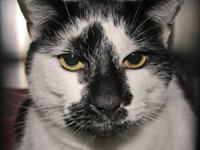 Domestic Short Hair - Black and white - Yoko - Medium -