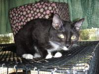 Domestic Short Hair - Black and white - Zebadee - Large