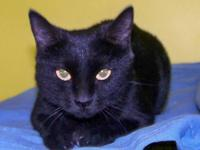 Domestic Short Hair - Black - Annie - Small - Adult -