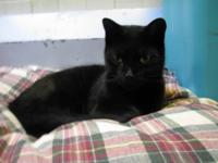 Domestic Short Hair - Black - Ash - Medium - Adult -